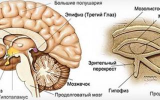 Что такое шишковидная железа головного мозга